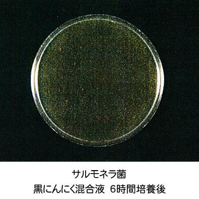 サルモネラ菌-培養6時間後
