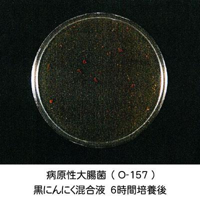 大腸菌-黒にんにく培養6時間後