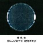 緑膿菌-黒にんにく培養6時間後