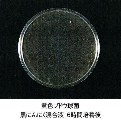 黄色ブドウ球菌-培養6時間後