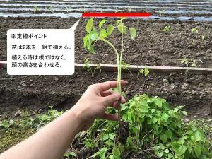 えごま苗定植の際のポイント