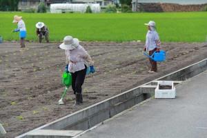 えごま定植:苗に水