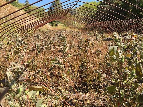 野麦峠-えごまの収穫