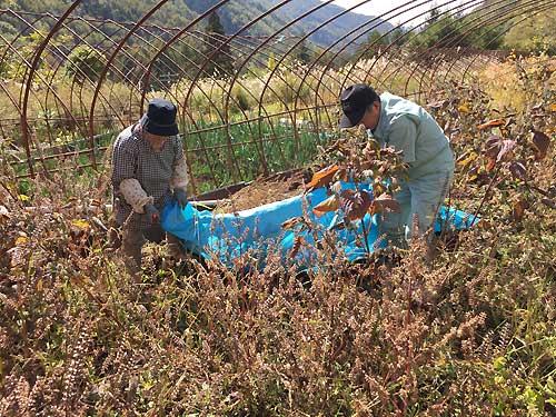 えごまの収穫、シートの移動
