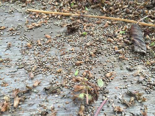 エゴマ収穫、えごまの実