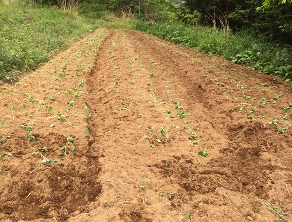 肥料無しえごま畑