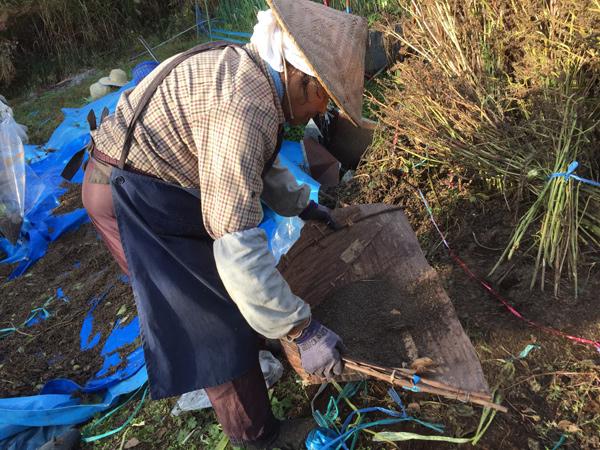 えごま収穫:野麦えごま畑の収穫作業